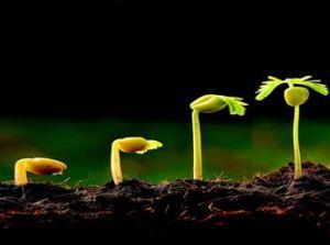 benih tumbuh kecamba